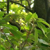 コナラ属 春 黄緑色の房状の花