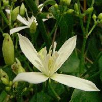 センニンソウ属 夏 小さな白い花 白い部分はガク