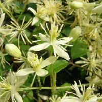 センニンソウ属 晩夏 白い花 花弁のように見えるのはガク