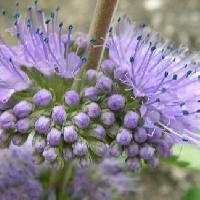 カリガネソウ属 秋 紫色の花