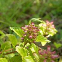 トウバナ属 初春夏 淡紫色の極小さな花