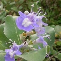 ハマゴウ属 夏 青紫色の花