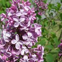 ハシドイ属 春 紫色の小さな四弁花