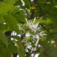 ヒトツバタゴ属 晩春 白い花