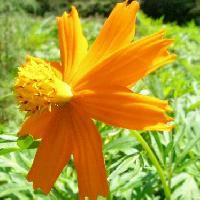 コスモス属 夏秋 黄橙色の花