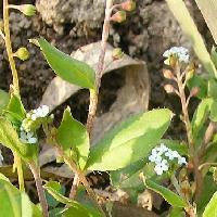 キュウリグサ属 春 水色の極小さな5弁花