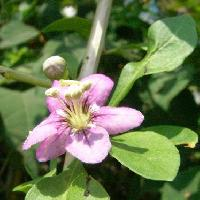 クコ属 夏 小さな赤紫色の花