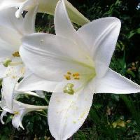 ユリ属 夏~初秋 白い花