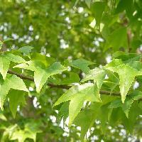 カエデ属 葉は三裂 掌状葉 円形 対生