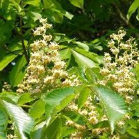トチノキ属 春~初夏 房状の白い花