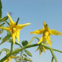 ナス属 夏 小さな黄色い5弁花