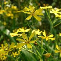 ニガナ属 春 黄色い花