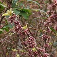 ハドノキ属 初春 薄紫色の小さな花