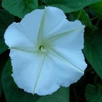 ヒルガオ属 晩夏 白い花夕方から翌朝にかけて咲く
