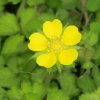 キジムシロ属 春 黄色い5弁花