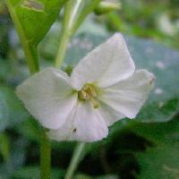 ホオズキ属 夏 小さな白い花
