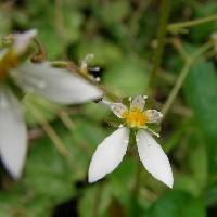 ユキノシタ属 晩春~初夏 小さな白っぽい花
