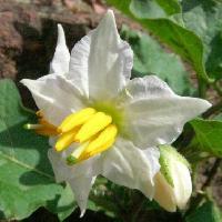 ナス属 夏 小さな白または薄紫色の花