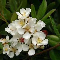 シャリンバイ属 春 白い5弁花