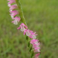 ネジバナ属 夏 小さいピンクの花