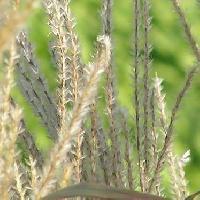 ススキ属 秋 綿毛の付いた種子