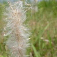 チガヤ属 晩春~初夏 綿毛を付けた種子