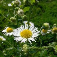 ムカシヨモギ属 初夏 白い花