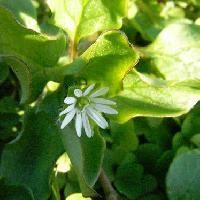 ハコベ属 春 小さな白い花
