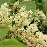 ソバカズラ属 夏~秋 極小さな白い花