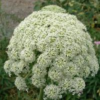 ニンジン属 初夏 極小さな白い花を多数付ける