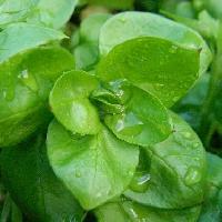 ウシハコベ属 対生 広卵形 全縁 成長した個体では葉柄はない