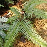 ウラジロ科 羽状葉が6つ集まっている