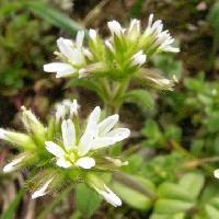 ミミナグサ属 春 先端に浅い切れ込みのある白い5弁花