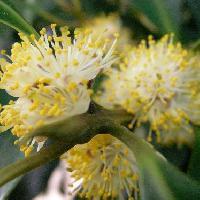 ハイノキ属 春先に小さな白い花が咲く