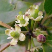 モチノキ属 春 小さな白黄緑色の花
