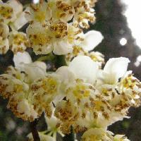 ハマビワ属 初春 小さな白黄色の花