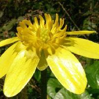 キンポウゲ属 初春 光沢のある黄色い花