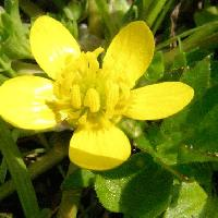 キンポウゲ属 春 黄色い花