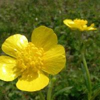 キンポウゲ属 春 光沢のある黄色の花