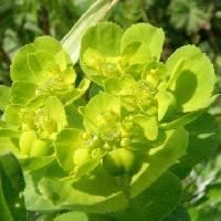 トウダイグサ属 春 小さな黄緑色の花