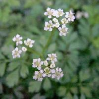 セントウソウ属 春 極小さな白い5弁花