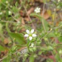 ノミノツヅリ属 春 極小さな白い花