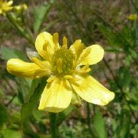 キンポウゲ属 春~夏 黄色い花