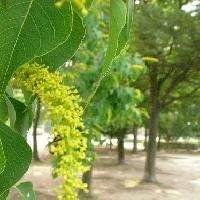 ナンキンハゼ属 初夏 黄緑色の極小さな花
