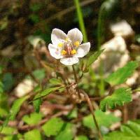 シロカネソウ属 晩春 紫色の筋の入った白い花
