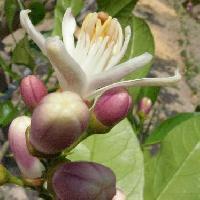 ミカン属 晩春 白い花 裏は紫