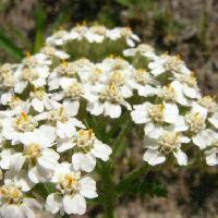 ノコギリソウ属 晩春に小さな白い花