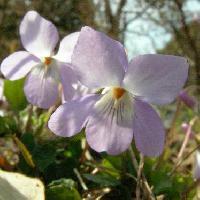 スミレ属 春 薄紫色