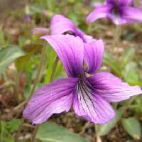 スミレ属 初春に紫