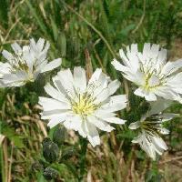 ニガナ属 春~初夏 白い花